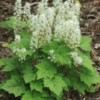 Foamflower is aptly named, with short spires of fluffy white florets.