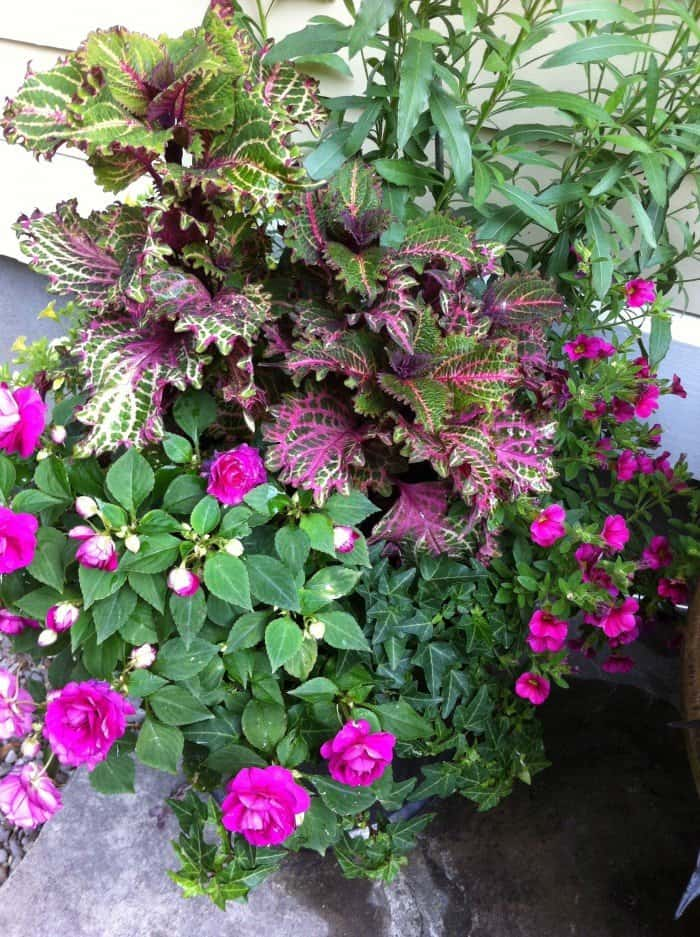 Tall blue salvia, coleus, double impatiens and English ivy. (Garden Making photo)