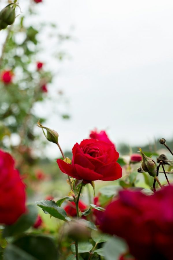 The process of developing a new rose such as Canadian Shield can take up to 10 years.