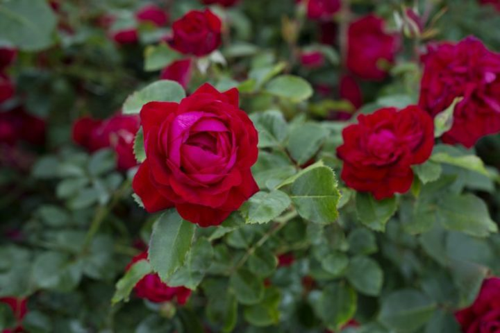 Canadian Shield, a vivid red landscape rose with glossy green foliage, is the first in a new series of easy-to-grow roses called the 49th Parallel Collection.