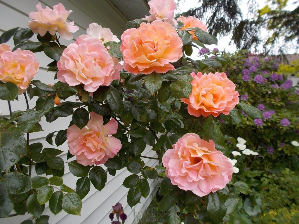 Where: Tsawwassen, BC | When: May 2016 | What: Rosemary Harkness rose, Rhododendron, calla lilies. | Photo: Bonnie H.