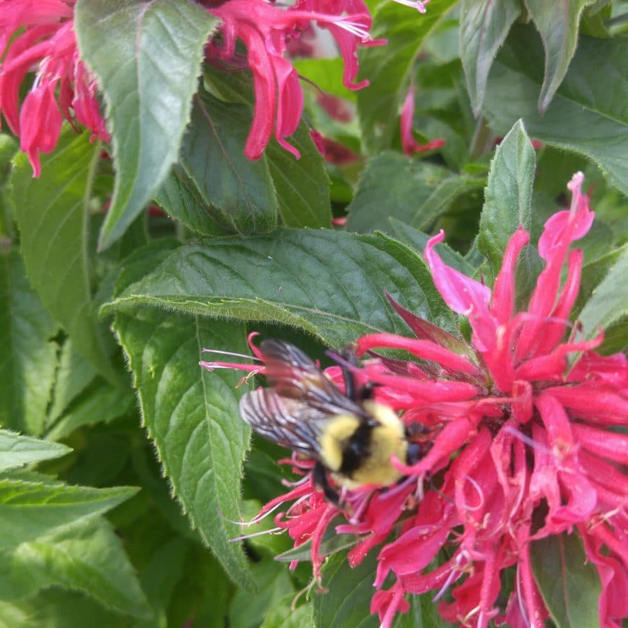 Where: Peterborough, ON | What: The newer Bee Balms/Monarda's are mildew resistant, shorter and attract bees, butterflies and hummingbirds. | Photo: Dawn G.