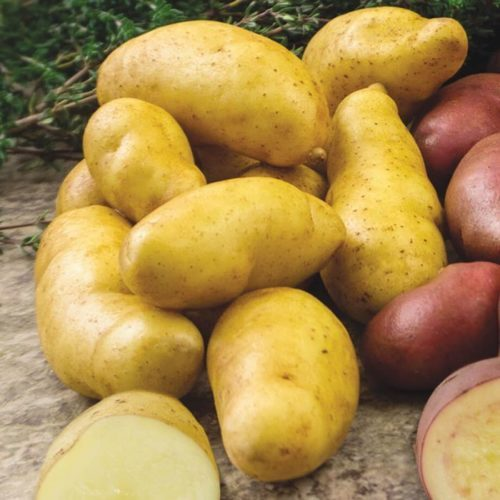 "Grow your own ""PEI potato"": fingerling potato called Russian Banana"