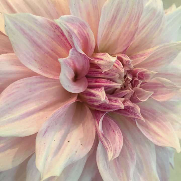 It's easy to get lost in the swirl of the pink-and-white streaked petals of 'Avignon'.