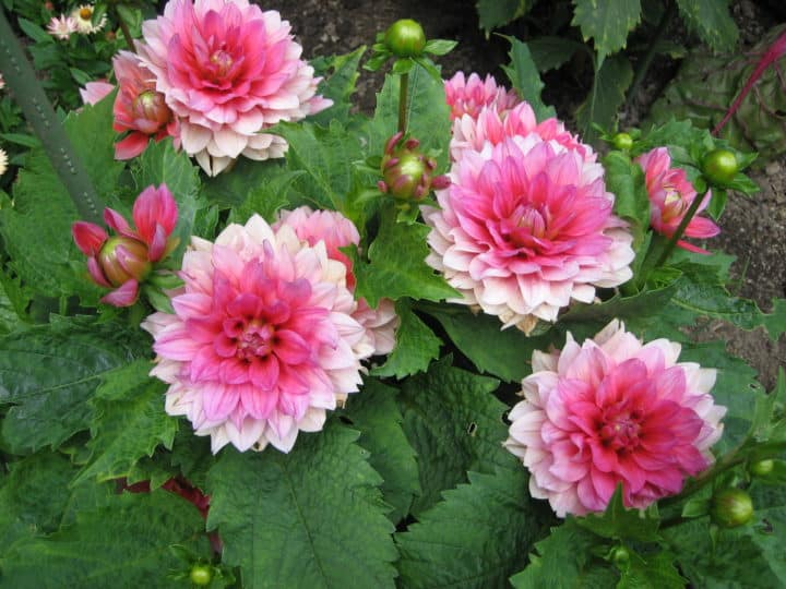 Compact 'Berliner Kleene' grows about 18 inches (45 cm) tall. Plants have crinkled foliage and produce dozens of  pinkish-coral blooms.