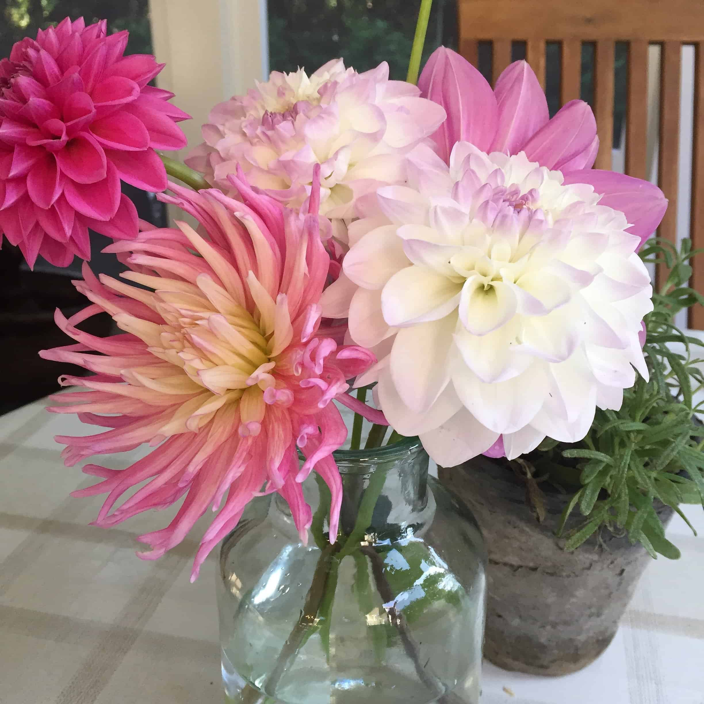 ahlias are attractive plants in the garden, but the real reason I grow them is to have plenty of cut flowers for the house. (Photos by Garden Making)