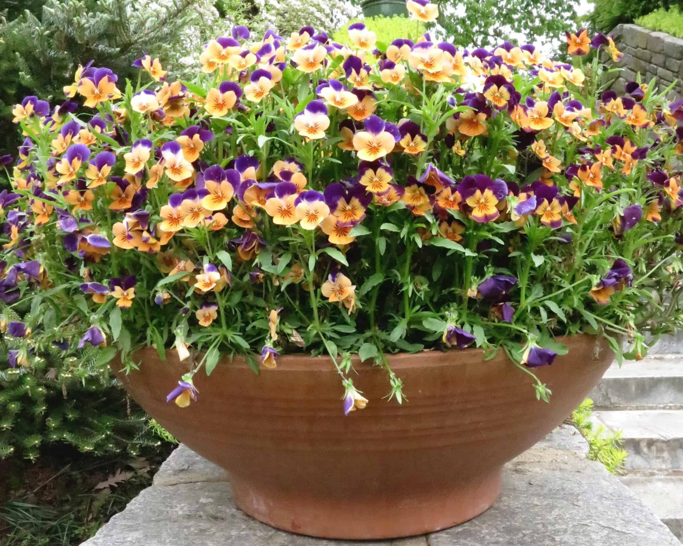 A container generously filled with only one type of flower can be dramatic. In this case, cheerful violas at Chanticleer Garden near Philadelphia, Pennsylvania, mark the beginning of a stone staircase.