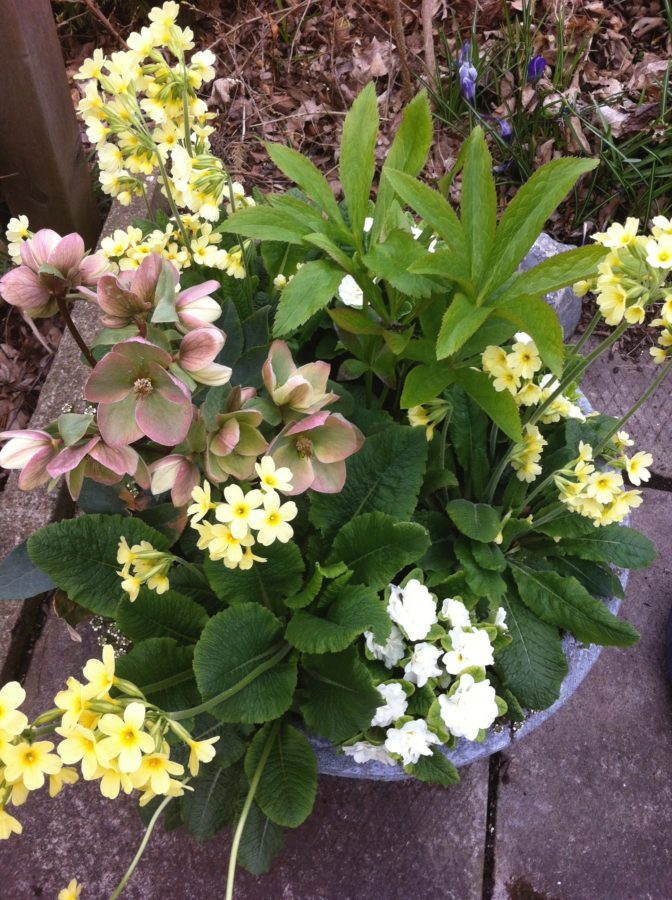 A spring container filled with pink hellebores and yellow and white primroses offers a cheerful greeting on a front porch.