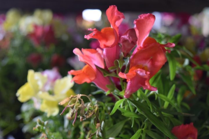 Where: LaSalle, Quebec | When: May 2019 | What: Snap dragons being sold at horticultural society sale| Photo: Ann P.