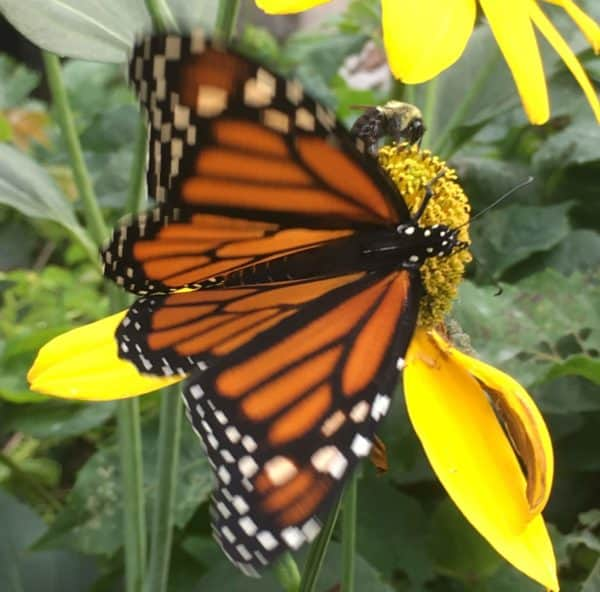 Nancy Cole on Bees and other Pollinators