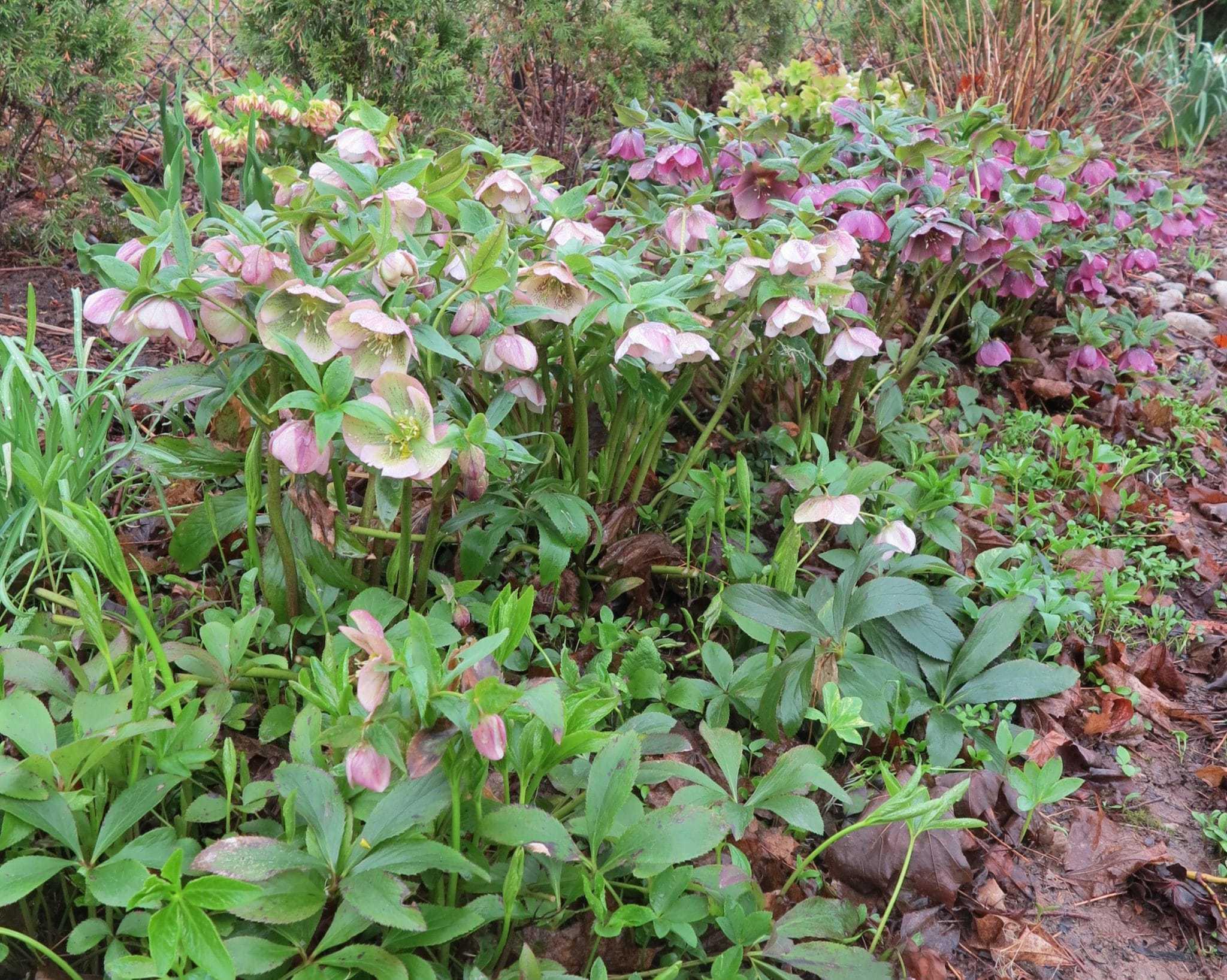 Hellebores and seedlings.