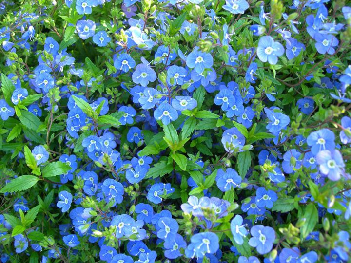 'Georgia Blue' veronica