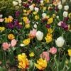 tulips in bloom at RBG
