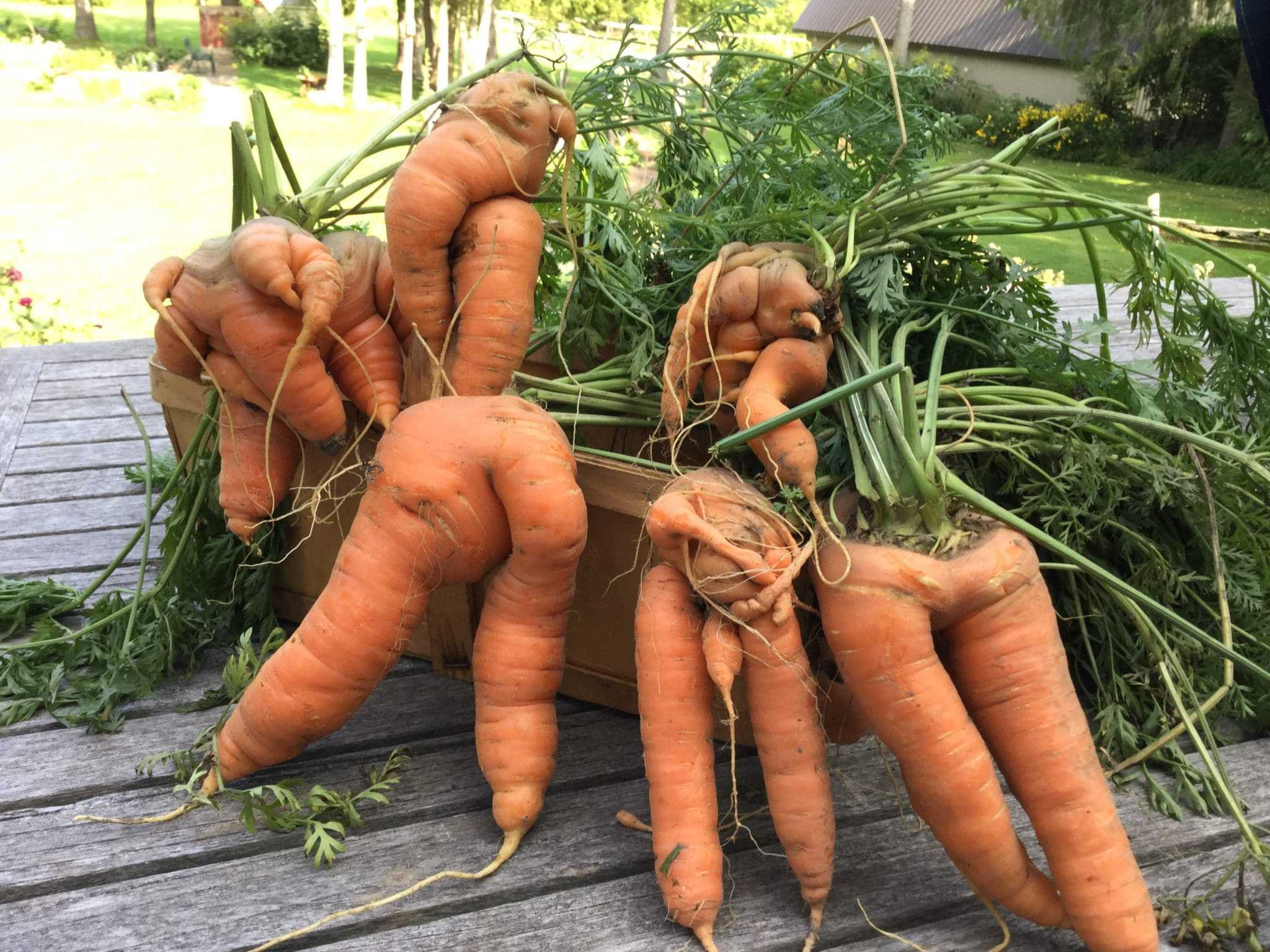 Harvest of forked carrots.