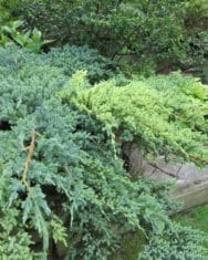 evergreen pruning for holidays