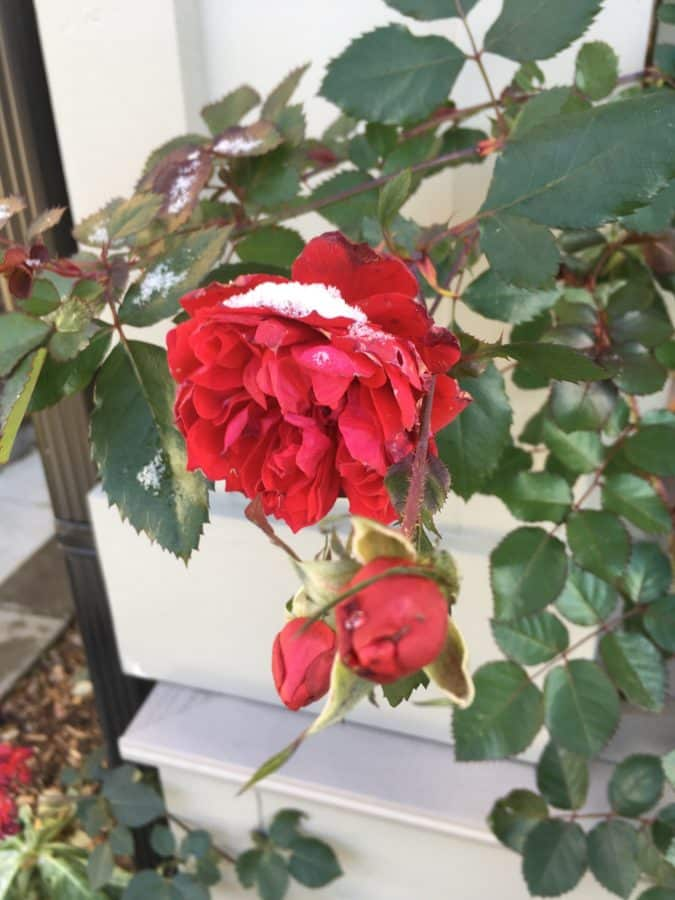 Canadian Shield rose planted in the Hamilton, Ontario, garden of Allyn Walsh on Nov. 20, 2018 – five months after it was planted.