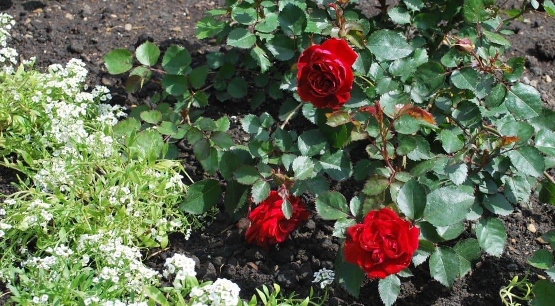 Alberta legislature garden - Canadian Shield roses