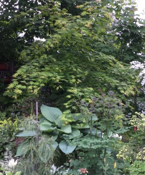 Where: Gatineau, QC | When: June 2018 | What: This is part of my backyard woodland garden. The tree is the Korean maple 'Arctic jade', the Hosta is 'Empress Wu' with Thalictrum delavyi 'Anne' and Pinus sylvestrus 'Angel falls'. | Photo: Anne P.