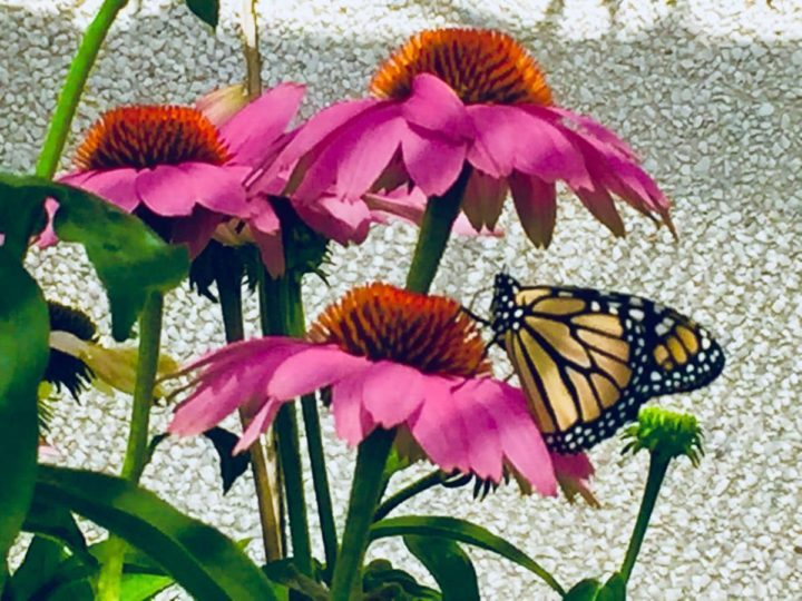 Where: Toronto, ON   When: September 2018   What: Pollinating in garden   Photo: Delores G