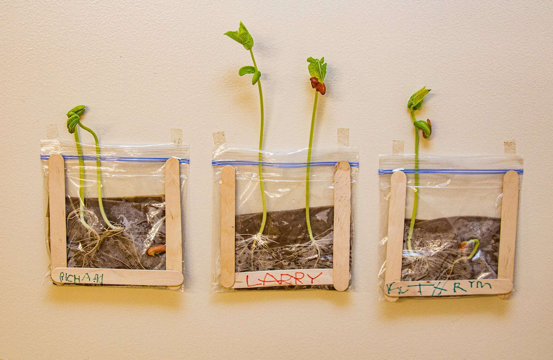 Sprouted bean seed