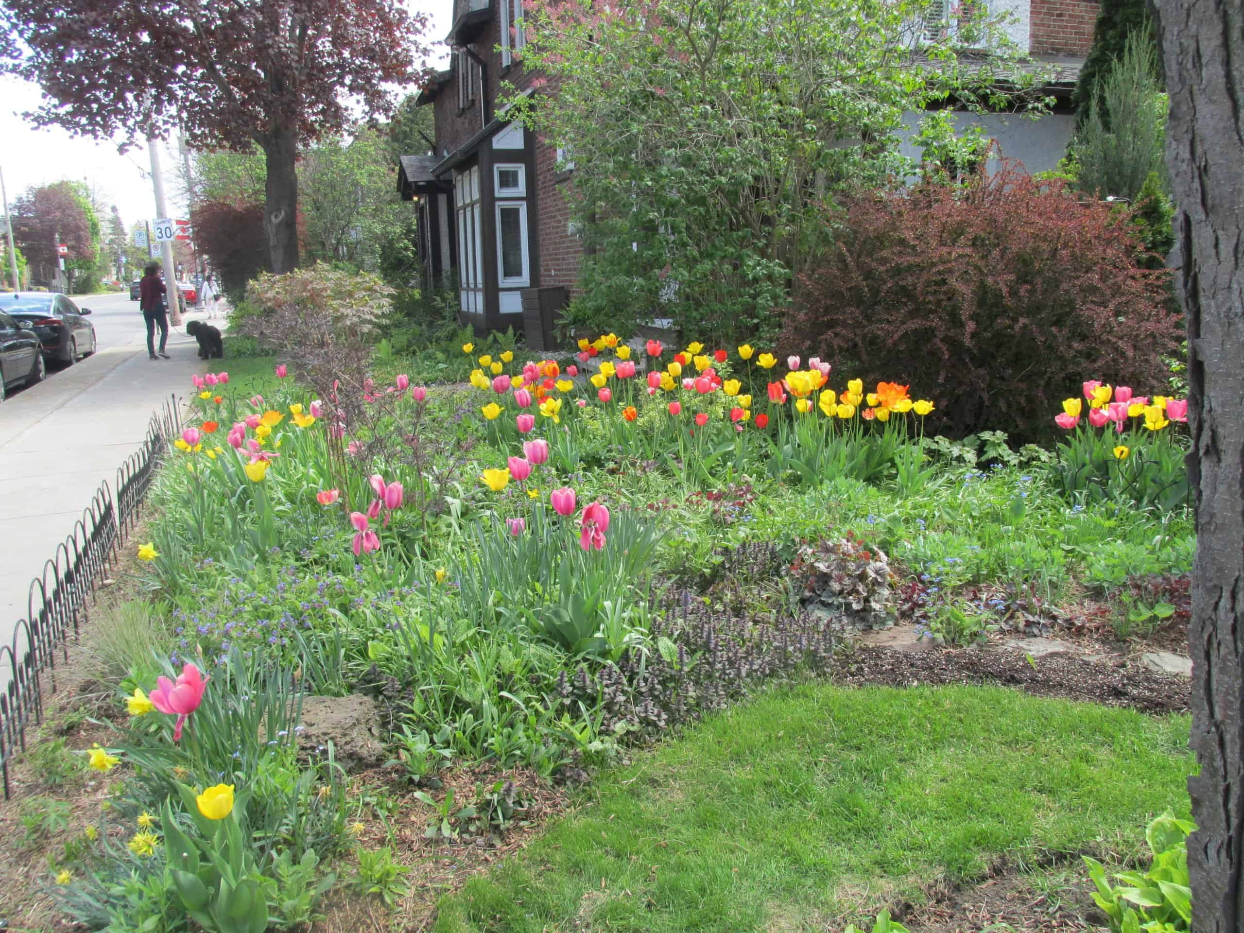 Spring garden in centre of Montreal West with tulips