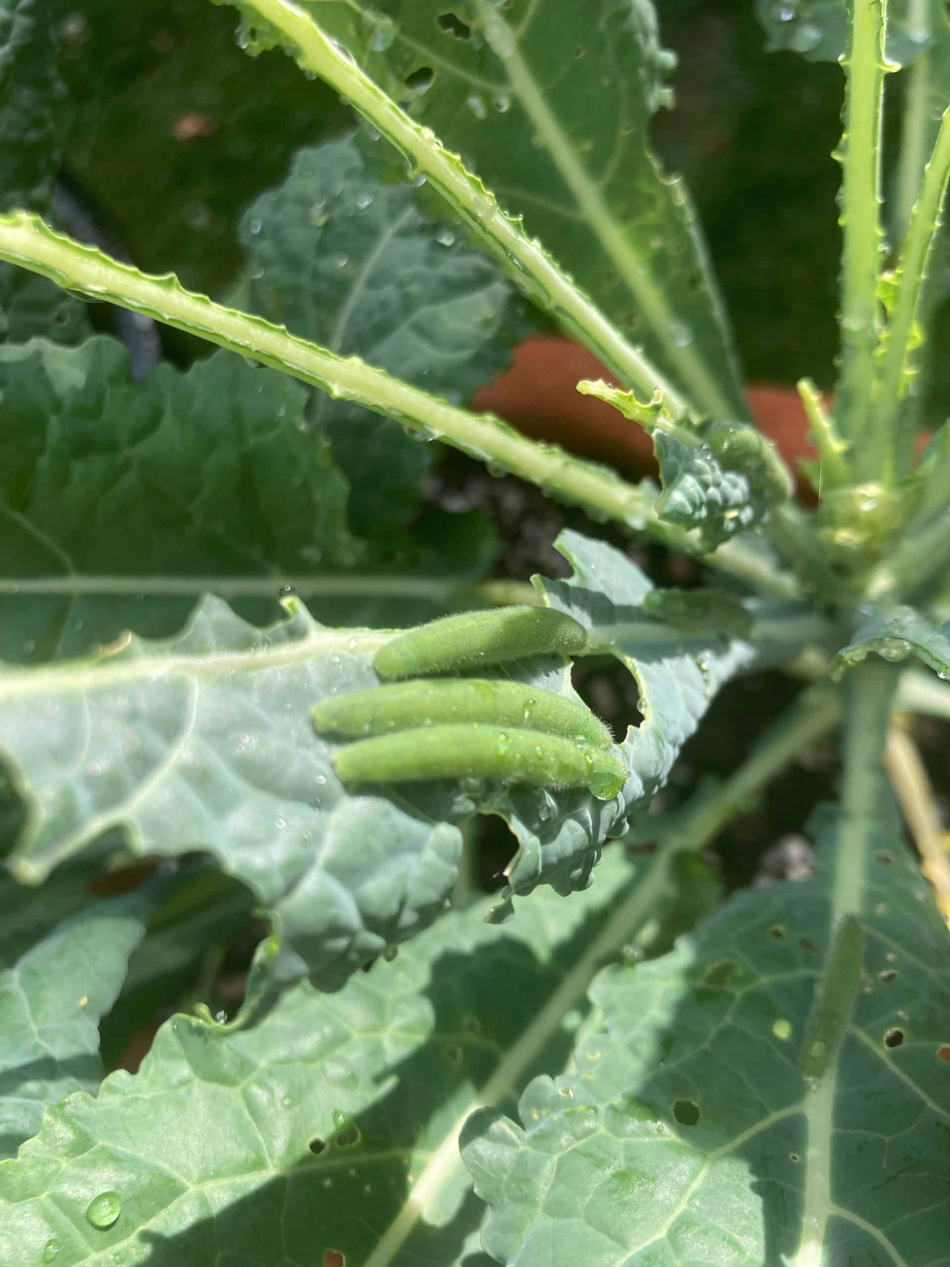 Cabbage worms on kale leaves