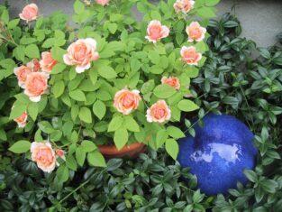minature rose in pot